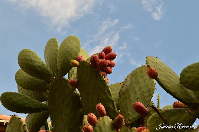 Figue de Barbarie, Cactus, Pérou