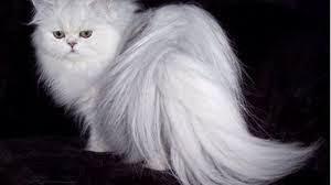 5 Fakta tentang Kucing Anggora A.K.A Turkish Angora. The Zhemwel