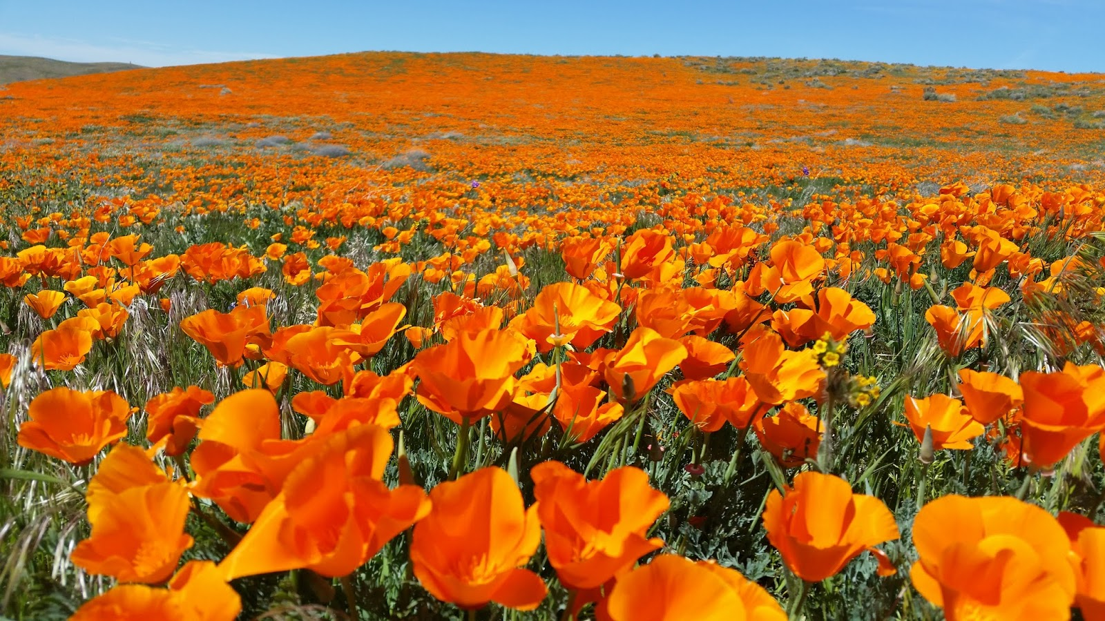 My Own 100 Hikes Hike 2017015 Antelope Valley California Poppy