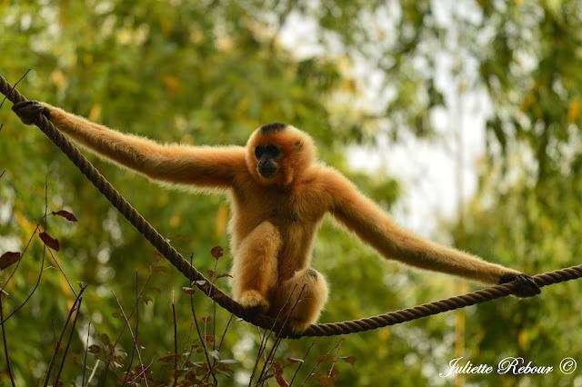 Gibbon, Bioparc Doué-la-Fontaine