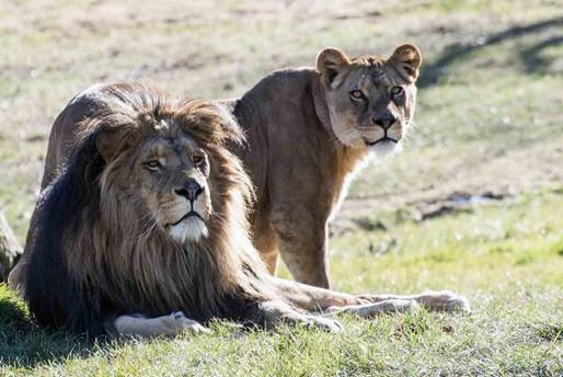 La gita dell'asilo allo Zoo Safari - leoni