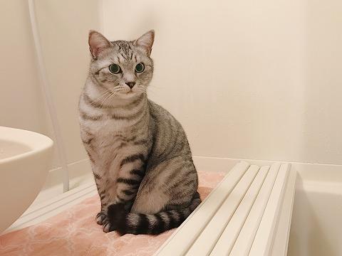 お風呂のフタの上にちょこんと座っているサバトラ猫