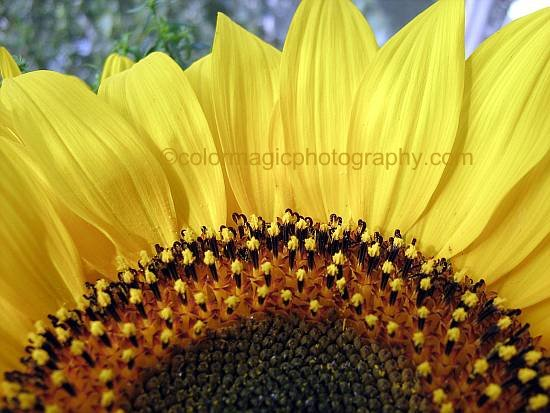 Sunflower center and petals-details-close-up