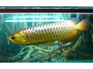 Agar Ikan Arwana Tidak Stres Begini Caranya Tips Ikan
