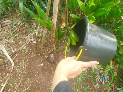 FOTO 6 :   Lakukan penyiraman pada tanaman kopyor yang baru ditanam