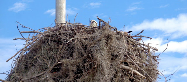 Osprey in Nest at Everglades National Park