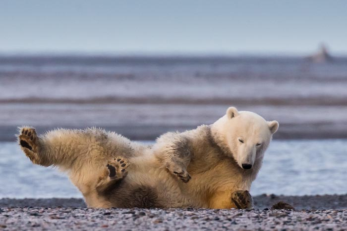 Gorgeous Polar Bear Photography by Photographer Patty Waymire