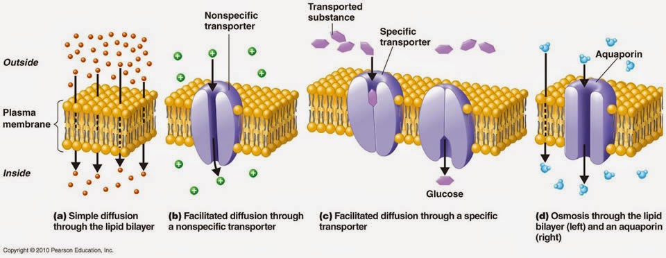 cell membrane notes pdf