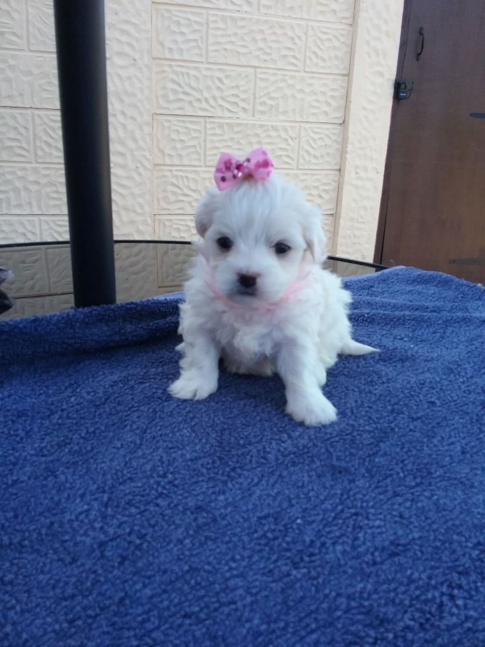 Pure Breed Maltese Puppies For Sale +1(337) 603-0249 ...
