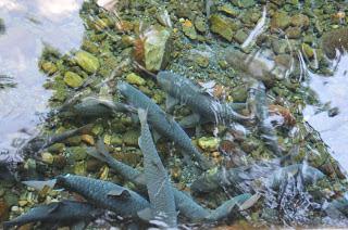 Wisata Kuningan - Ikan Dewa dan Sumur 7 Cibulan