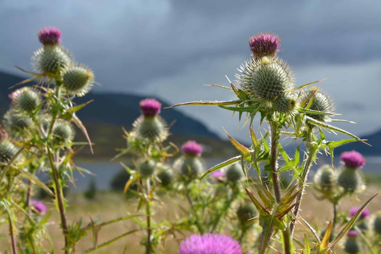 Highlands in summer solveig in scotland - Le chardon d ecosse ...