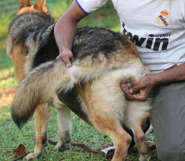 Cara Pemacakan Anjing Cara Pemacakan Anjing