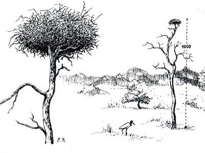 Yabirú Jabiru mycteria
