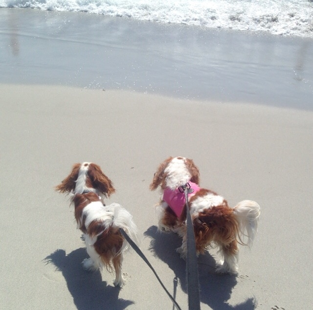 Blenheim Cavalier King Charles Spaniel exploring beach in Carmel, California