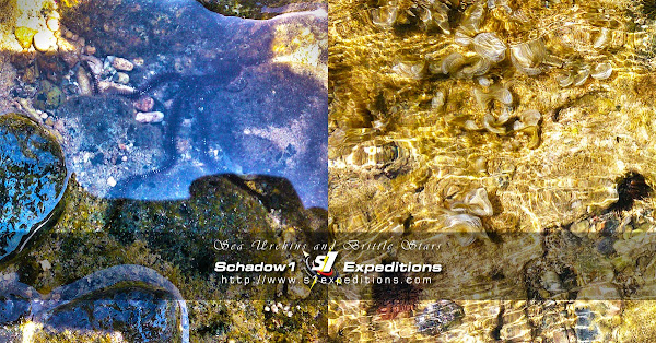 Sea Urchins and Brittle Stars - Schadow1 Expeditions