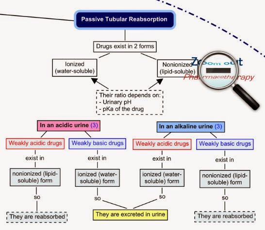 passive_tubular_reabsorption_excretion_drug_interactions_zoom_out_pharmacotherapy