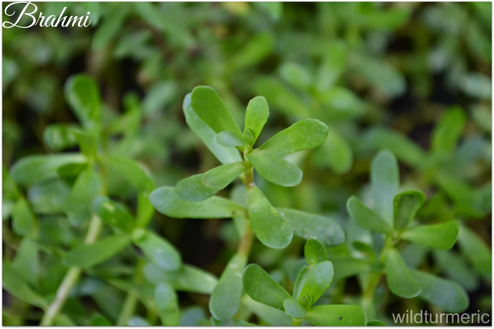 Image result for Talking about the Positive Effects of Bacopa Monnieri