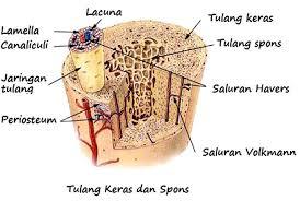 tulang keras (Pengertian, pembentukan, fungsi, ciri, macam-macam)