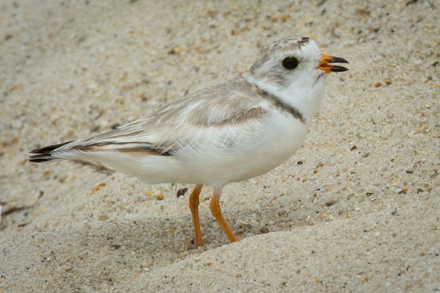 Piping Plover, Monomoy National Wildlife Refuge