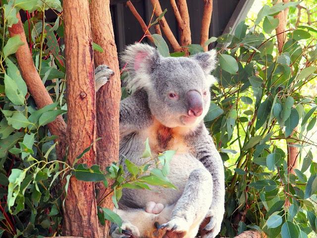 在龍柏動物園 LONE PINE KOALA SANCTUARY抱無尾熊。