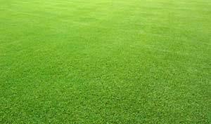 Rumput Golf | Rumput Gajah Mini (jual murah)