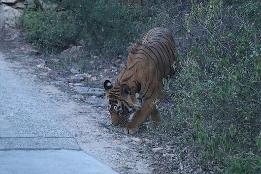 Why releasing Ustad does conservation no favours