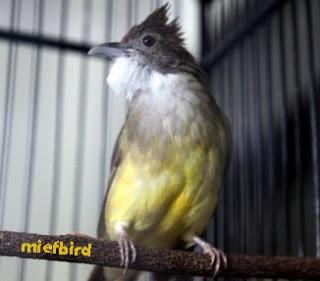 Burung Cucak Jengot - Ciri Ciri Bakalan Cucak Jengot BERKUALITAS BAGUS - Cara Memilih Cucak Jengot Handalan