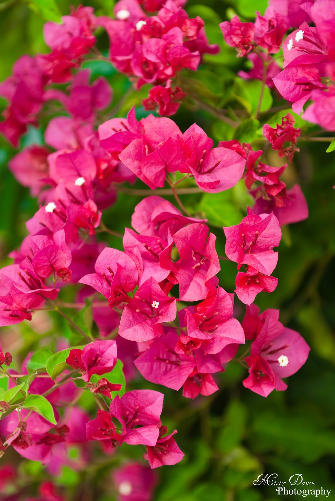 Through A Photographer's Eyes: Day 188 - Bougainvillea Plant