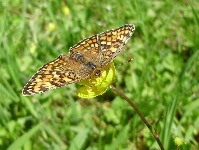 Melitaea phoebe con sus alas extendidas al sol ...