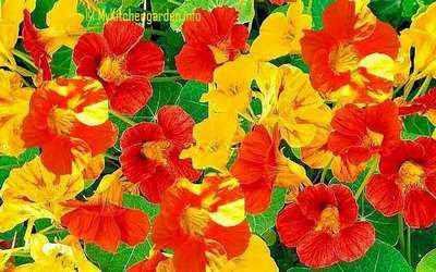 Nasturtiums flowers display