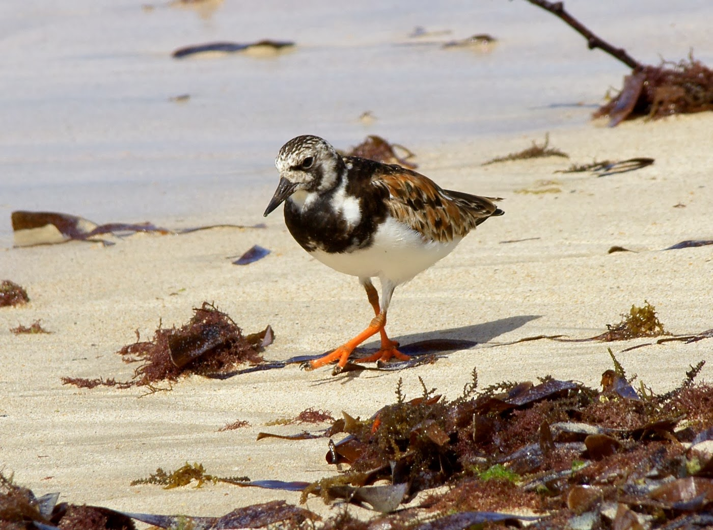 Ruddy Turnstone ( Arenaria interpres ) migrant shorebirds