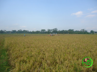 Hamparan tanaman padi yang menguning