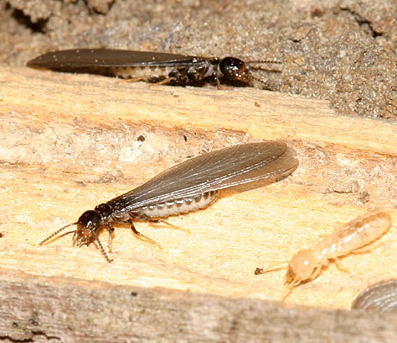 Termite | Endangered Animals Facts, Wildlife Pictures And ...