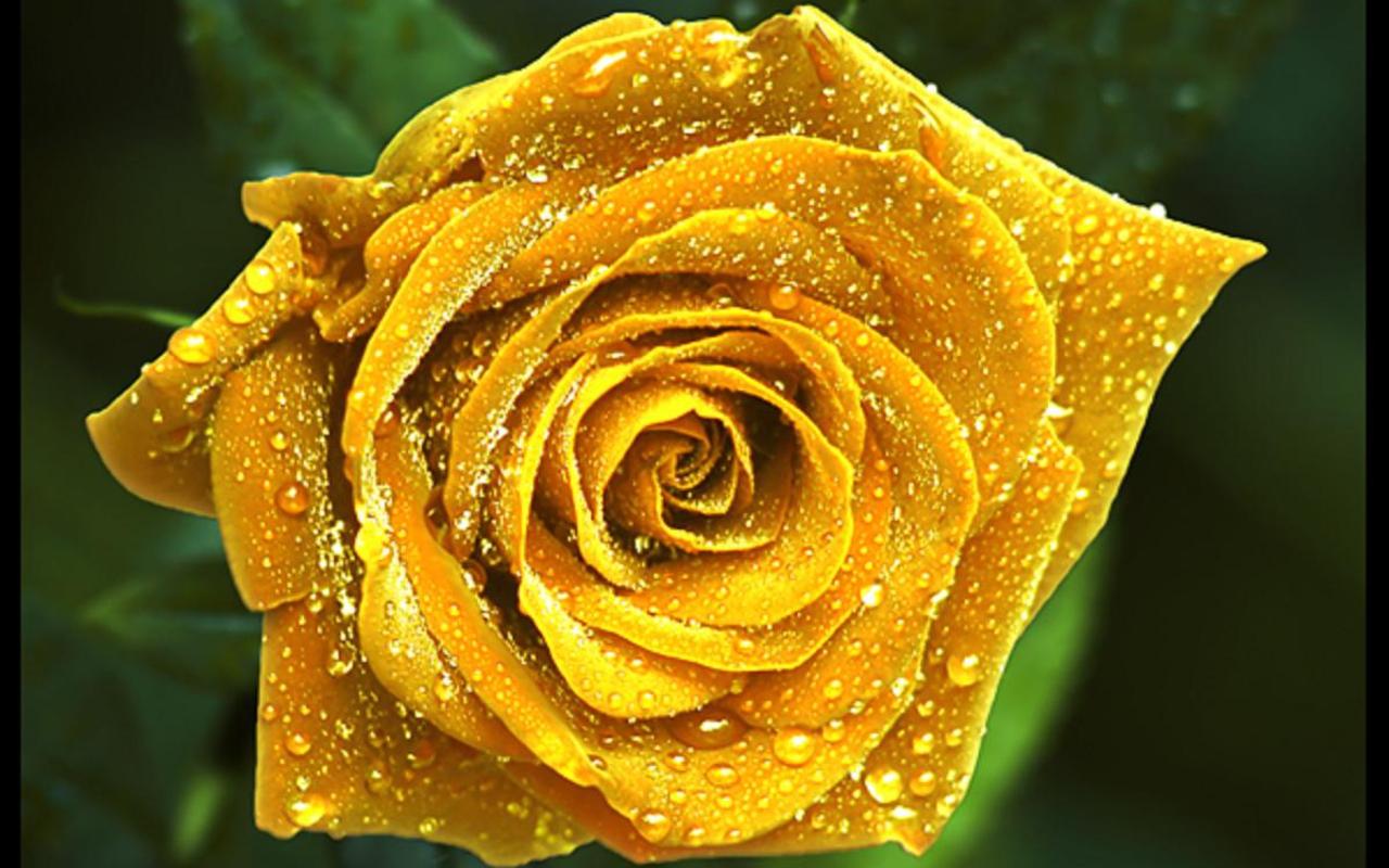 Nn 3d Wallpaper Imagini Cu Trandafiri Semnificatia Trandafirilor Poze
