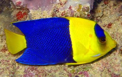 Pez Angel Enano bicolor