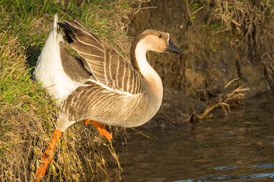 Chinese Goose, Rheudasil Park