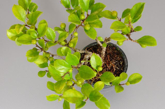 ツルウメモドキY-2(蔓梅擬盆栽)Celastrus orbiculatus bonsai