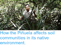 http://sciencythoughts.blogspot.co.uk/2014/05/how-pinuela-affects-soil-communities-in.html