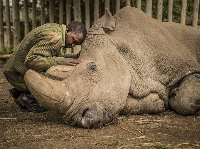Last male northern white rhino dies in Kenya, leaving two females