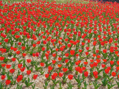 花博記念公園鶴見緑地の赤いチューリップ