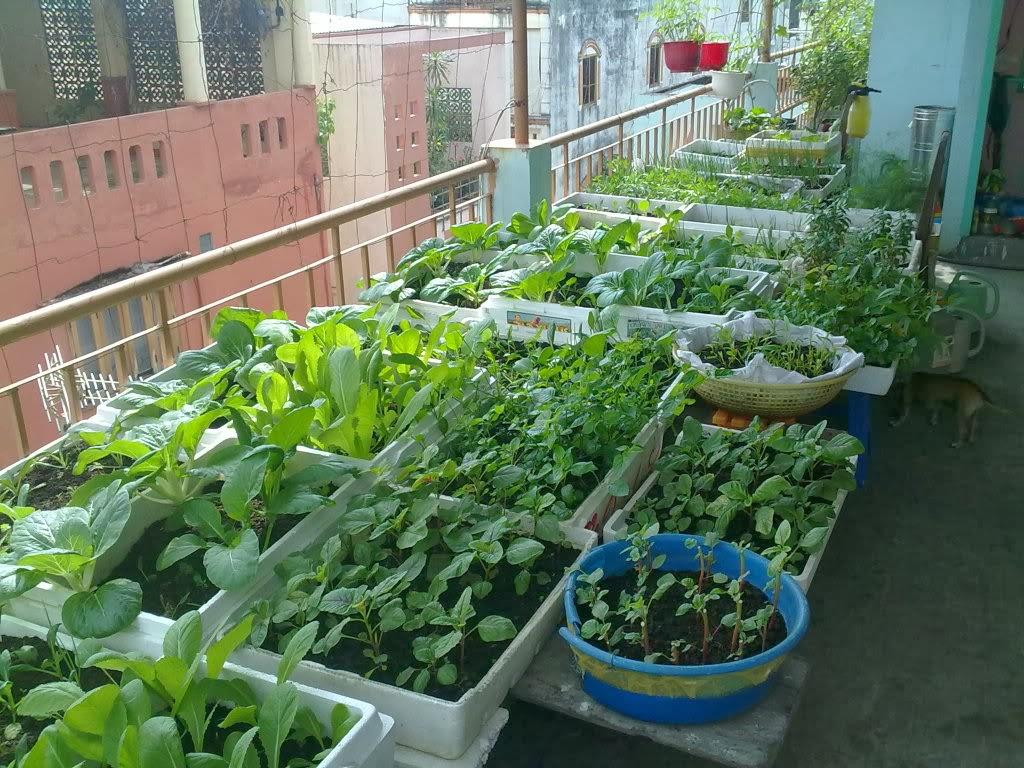 Cách trồng rau trong thùng xốp
