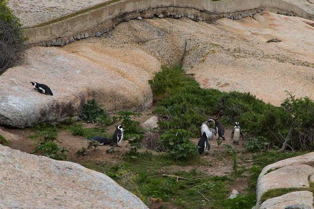 Pingüinos de Boulders Beach, Península del Cabo, Sudáfrica