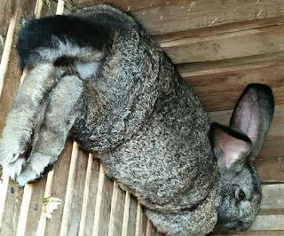 Penyebab dan Cara Mengatasi Induk Kelinci Kanibal Makan Anaknya Sendiri