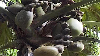 Double coconut fruit images wallpaper