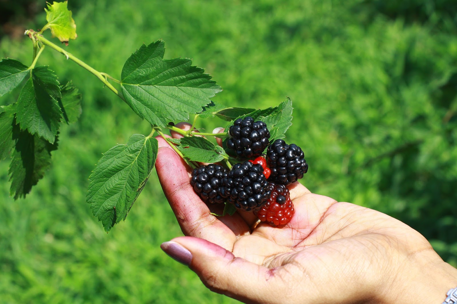 blackberry picking poem