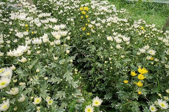 bahong flower field