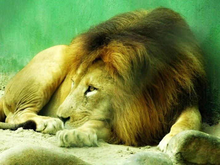 Em seguida, o leão abre novamente os olhos