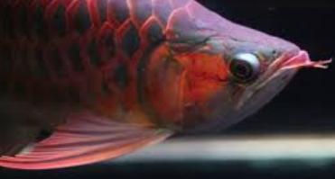 Cara Memilih Ikan Arwana Super Red Anakan Yang Bagus Dan Berkualitas