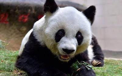 Cara Pemerintah China Buat Panda Tidak Lagi Terancam Punah