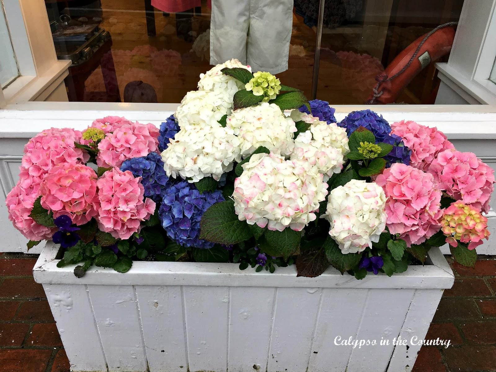 Hydrangeas in a windowbox